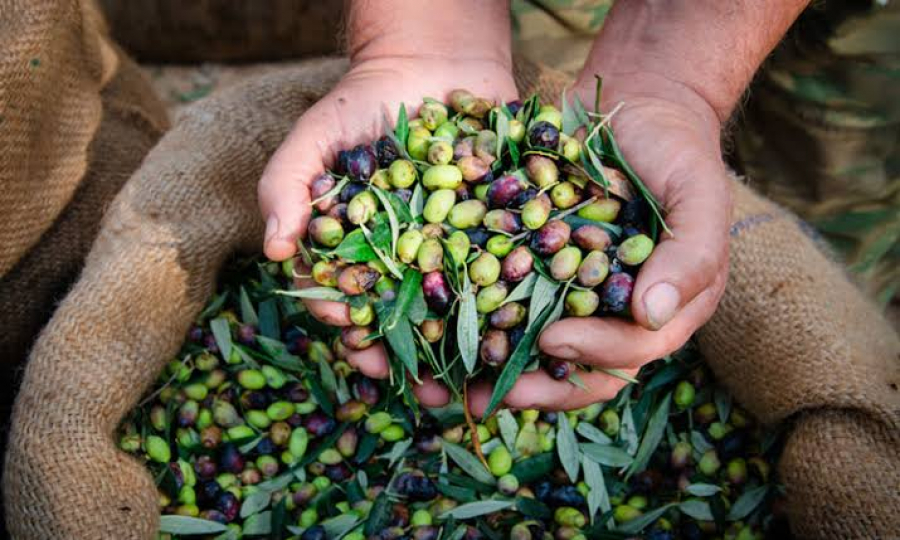 olive oil production on a commercial scale for farmers.